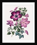Clematis by Miss Sowerby