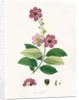 Largerstroemia Regina by William Roxburgh