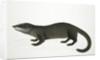 Otter Civet by J Briois