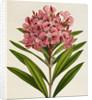 Nerium (Oleander) by Ferdinand Bauer