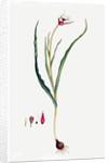 Tulip by Ferdinand Bauer