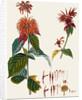 Monarda (Bergamot) by J E Haid