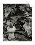 Pumpkin growing in garden by Fay Godwin
