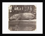 The hippopotamus at the Zoological Gardens by Don Juan Carlos