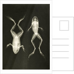 X-ray photograph of frogs, c.1896 by Josef Maria Eder and Eduard Valentia