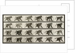 Baboon Walking on all fours by Eadweard Muybridge