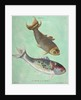 Kin-Yu: a pair of fish print by Edme Billardon-Sauvigne