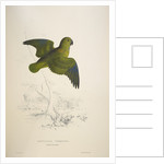 Collared parakeet by Edward Lear