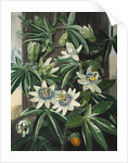 Passion Flower - The Temple of Flora by Robert John Thornton