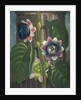 Quadrangular Passion-flower - The Temple of Flora by Robert John Thornton