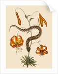 Lilium (Lily) by Mark Catesby