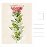 Protea (Sugar bush) by Aime Bonpland