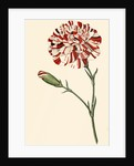 Dianthus (Pinks and carnations) by Anonymous