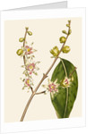Chimonanthus (Wintersweet) by Anonymous