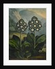 Auricula by Robert John Thornton