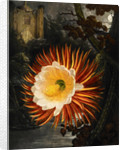 Selenicereus (Night-flowering cactus) by Robert John Thornton