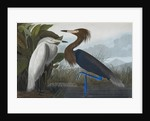 Audubon's Purple herons (Ardeo refescens) by John James Audubon