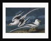 Tropic birds by John James Audubon