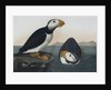Puffins by John James Audubon