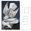 Iceland or Jer Falcon print by John James Audubon