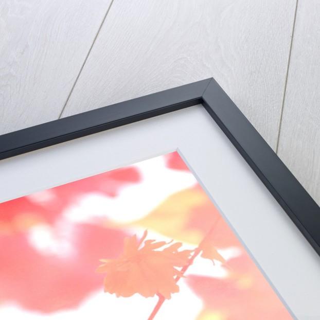 Chrysanthemum Abstract by Rachel Stewart