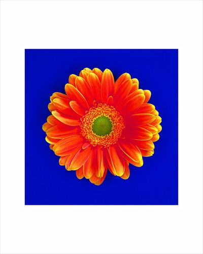 Gerbera Bloom by Cameron Rossi