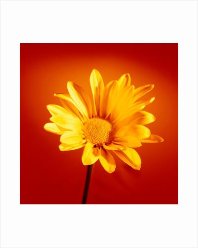 Yellow Chrysanthemum by Phillipe Delmouz