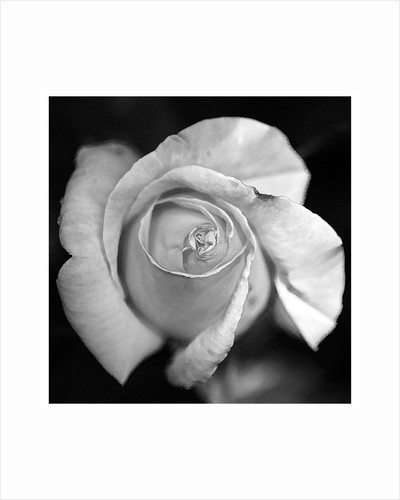 Monochrome rose by Andrew Ford