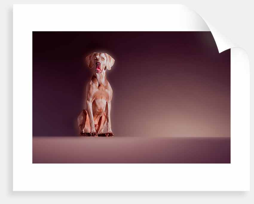 The Weimaraner by Cameron Rossi