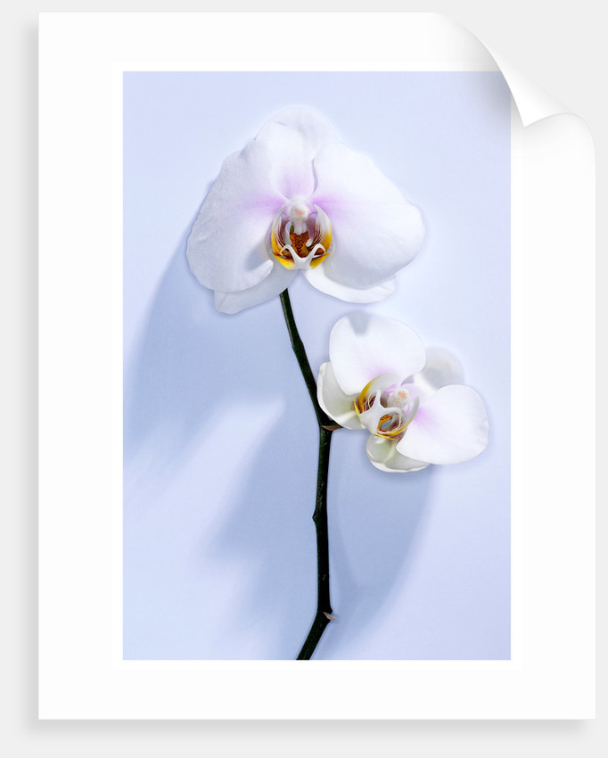 Wild Orchid II by Cameron Rossi