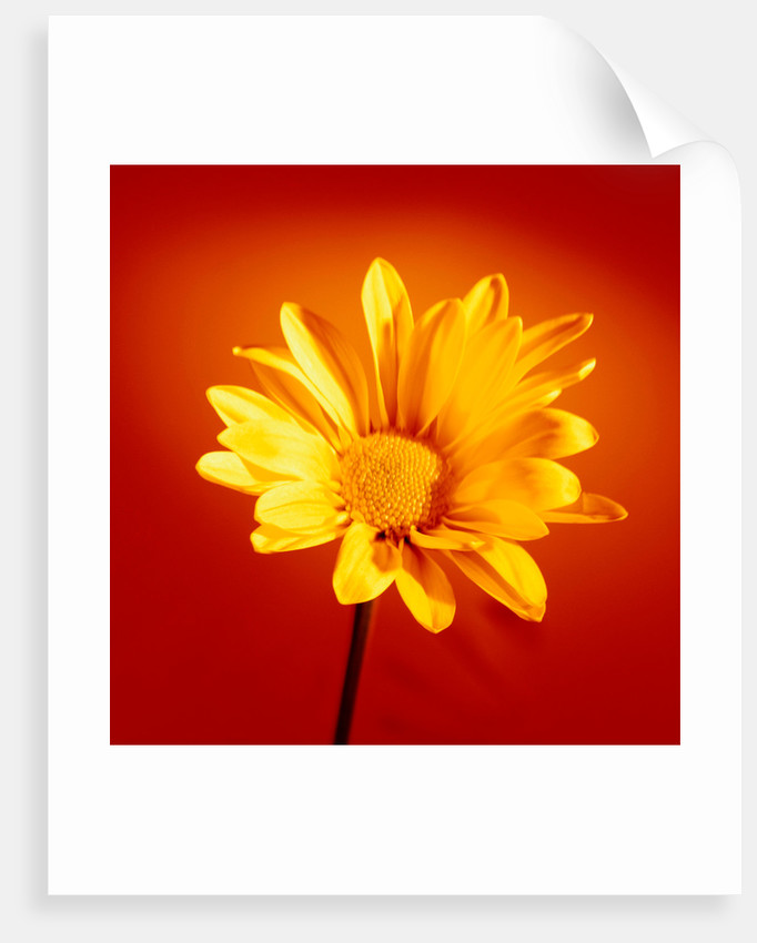 Yellow Chrysanthemum by Phillipe Delmouz