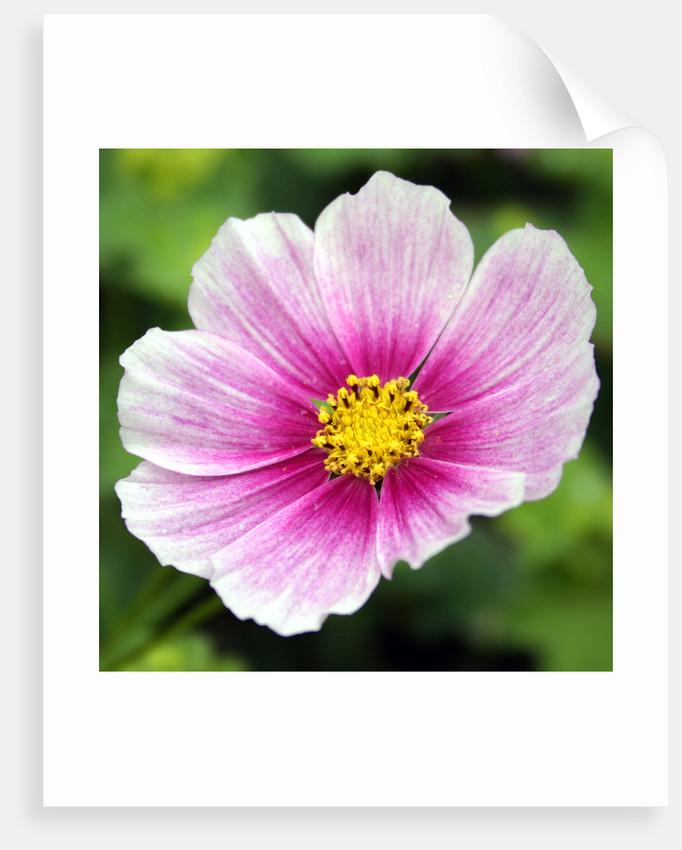 Full Flower by Emma Brickell