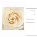 English Rose I by Phillipe Delmouz