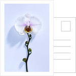 Wild Orchid I by Cameron Rossi