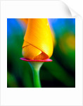Vivid Tulip by Phillipe Delmouz