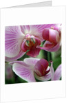 Pink Orchid II by Emma Brickell
