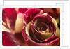 Dappled Rose by Alister Birmingham