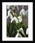 Snowdrops by Julie Higginbottom