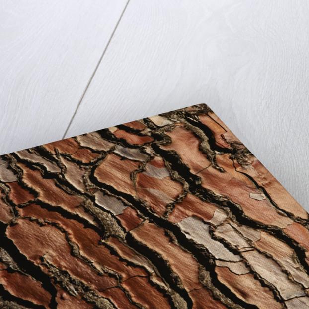 Bark Of Pinus Pinaster by Clive Nichols
