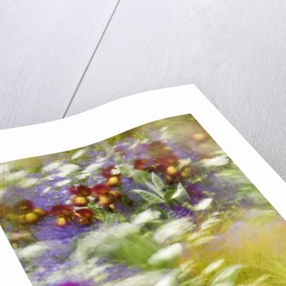 Chelsea Flower Show 2006: Daily Telegraph Garden Designed By Tom Stuart-smith: Wind Blown Stipa Gigantea, Irises, Allium 'purple Sensation' , Stipa Arundinacea, Orlaya Grandiflora by Clive Nichols