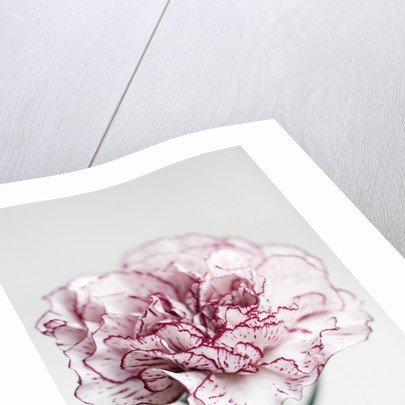 Close Up Of Single Flower Of Pink And White Carnation by Clive Nichols