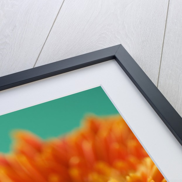 Close Up Of Brilliant Orange Gerbera Against Minty Blue Backdrop by Clive Nichols