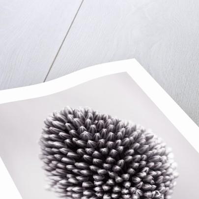 Close Up Black And White Toned Image Of An Allium - Allium Sphaerocephalon (drumstick Allium) by Clive Nichols