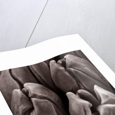 Black And White Close Up Duotone Image Of Hyacinth 'minos' by Clive Nichols
