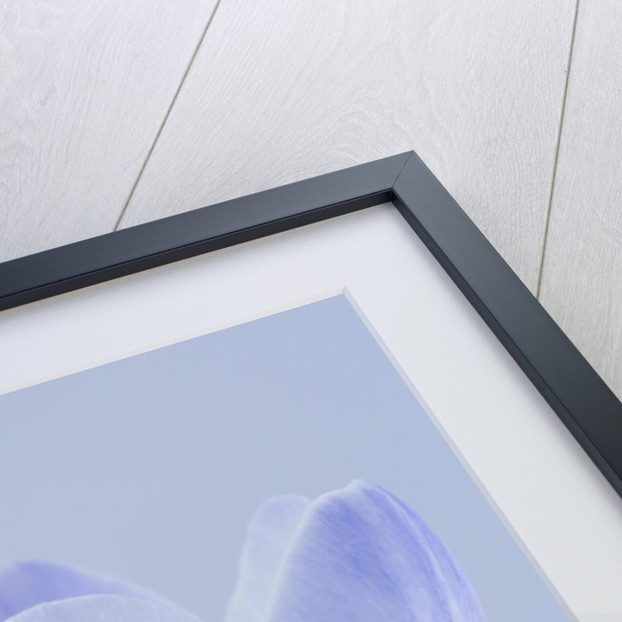 Close Up Of Crocus Blue Pearl by Clive Nichols