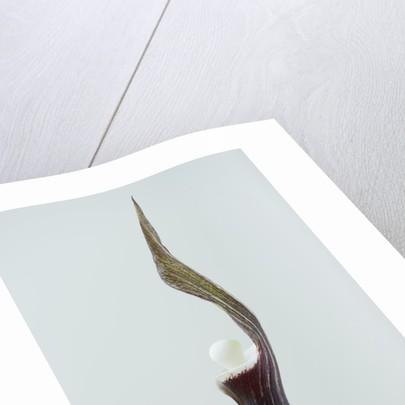 Close Up Image Of Arisaema Sikokianum by Clive Nichols