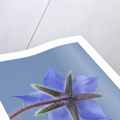 Close Up Of Blue Flower Of Borage (borago Officinalis) On Blue Background by Clive Nichols
