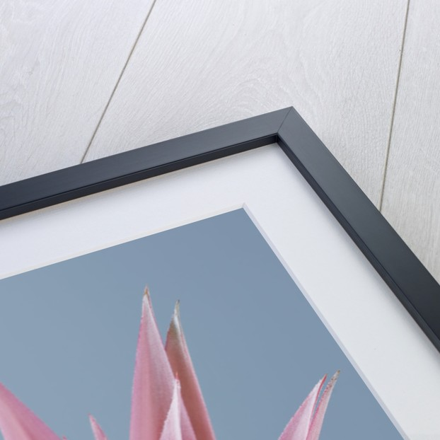 Close Up Of Pink Flower Of Aechmea Fasciata Primera by Clive Nichols