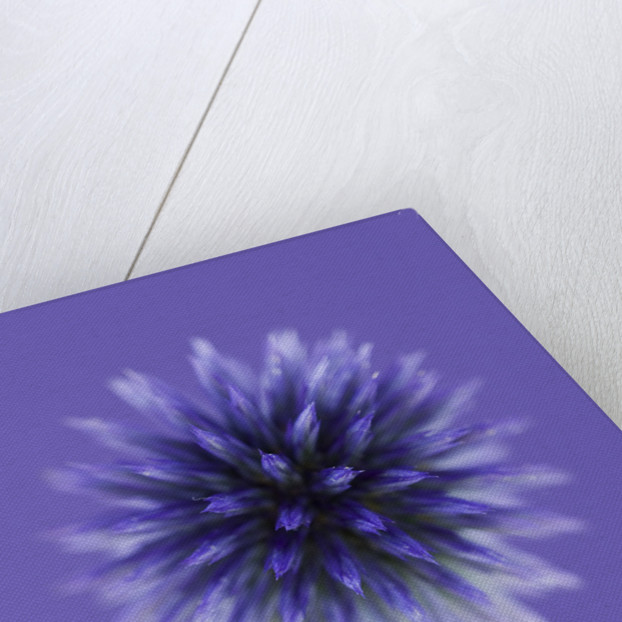 Close Up Of Blue/ Purple Flower Of Echinops Ritro 'veitch's Blue' by Clive Nichols