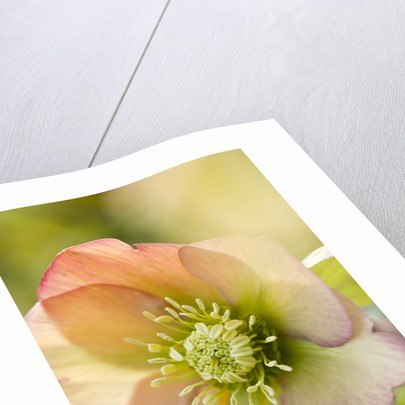 Harvington Hellebores: Close Up Of The Apricot Flower Of Helleborus X Hybridus Harvington Apricot by Clive Nichols